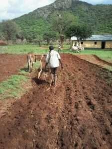 Oxen GMFC Moyale Kenya 2