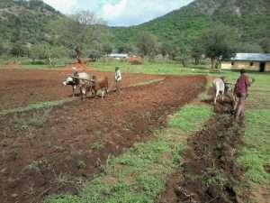 Oxen GMFC Moyale Kenya